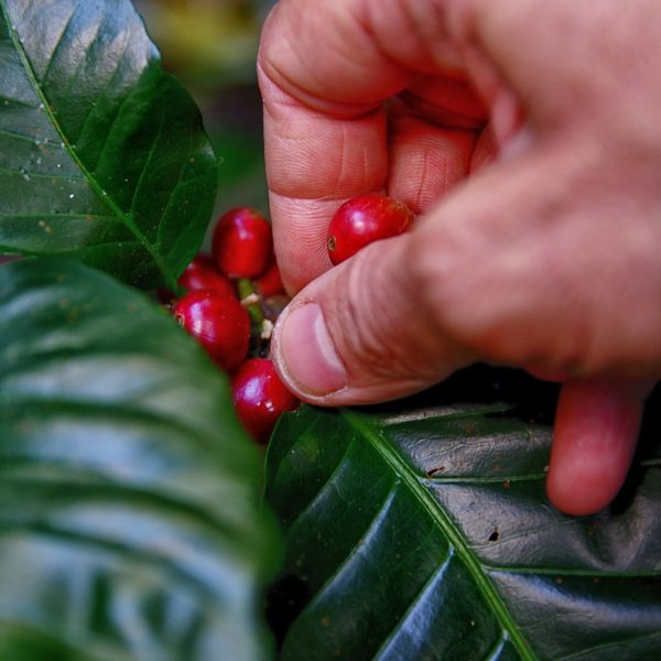 close-up-coffee-coffee-fruit-1187761